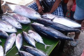 Ikan cakalang segar di Ambon masih mahal