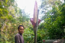 Tiga bunga bangkai mekar di Kampar Riau
