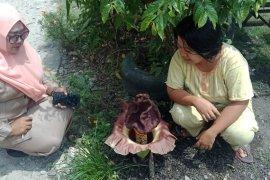 Bunga bangkai mekar di halaman rumah, sempat dikira keladi biasa yang kemudian terus disirami