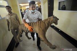 Buruh panen akasia tewas diterkam harimau