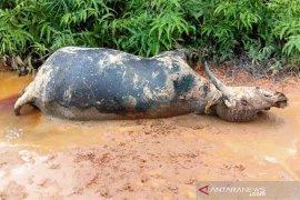 Belasan ternak kerbau mati mendadak di Nagan Raya