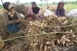 Petani Aceh Barat Manfaatkan Musim Ruang Untuk Tanam Kacang