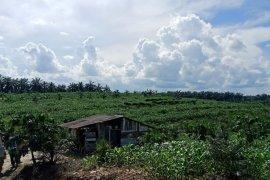 BPTP berikan pendampingan  teknologi pengembangan jagung di lahan replanting sawit