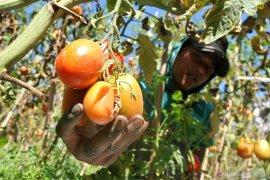 Nilai tukar petani Provinsi Jambi turun 1,68 persen