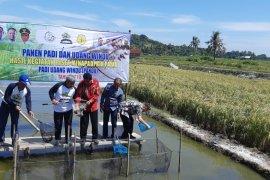 KKP-Kementan kembangkan teknologi panen padi dan udang windu bersamaan