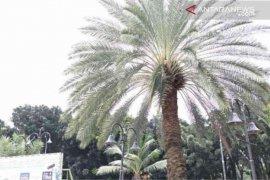 Satu pohon kurma di Masjid Al-Barkah Bekasi mulai berbuah