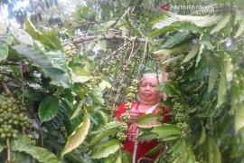 Saat ini, perkebunan kopi Rejang Lebong capai 23.558 hektare
