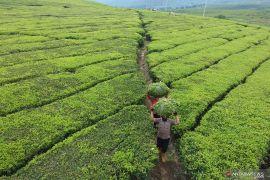Ekspor teh nasional berpeluang meningkat di tengah perang dagang