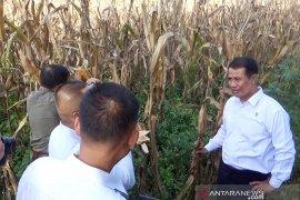 Mentan: petani jagung terapkan teknologi tanam zigzag