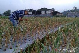 Potensi lahan untuk pengembangan Bawang Putih mencapai 1.800 Ha