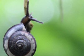 Peneliti temukan 16 spesies baru keong darat Jawa