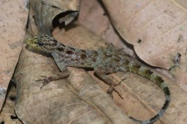 Cecak spesies baru ditemukan di Gunung Muria Jawa Tengah