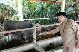 Populasi ternak kerbau di Aceh Barat 25.000  ekor