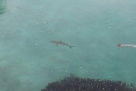 Perburuan hiu marak di Raja Ampat