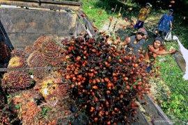 Mayoritas pabrik minyak kelapa sawit Mukomuko Kembali Beroperasi