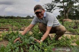 HPI Babel tanam ratusan semangka di lahan bekas tambang