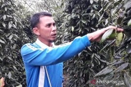Petani lada di Bangka Tengah terancam gagal panen