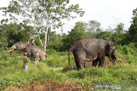 11 ekor gajah liar masuk permukiman warga di Riau
