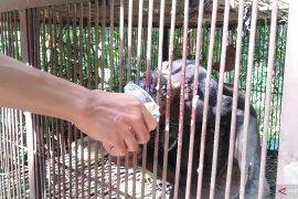 Pengelola Sinka Zoo beri keterangan tentang kondisi Beruang Madu yang viral