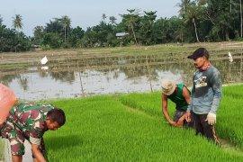 Semangat Babinsa Kodim 0204/DS bantu petani cabut benih padi
