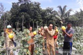 Pasokan buah melon di Kalbar sebagian besar dipenuhi petani lokal