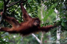 Lepas liar orangutan Sumatra
