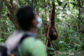 Dua orangutan dilepasliarkan ke Cagar Alam Jantho di  Aceh Besar