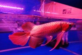 Pengusaha ajak pemerintah promosikan ikan arwana ke level dunia