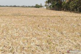 Areal sawah enam kecamatan di Karawang rawan kekeringan