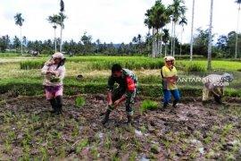 Babinsa Koramil 03/Sipirok dampingi petani tanam padi sawah