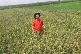 IPB ingatkan petani padi waspada kekeringan musim kemarau