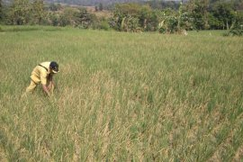 Belasan hektare sawah di Cirebon terancam gagal panen akibat kekeringan