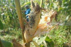 Hama tikus serang tanaman jagung petani lereng Gunung Wilis