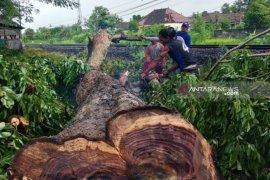 JPIK: Polisi belum tindak lanjuti kasus pembalakan kayu sonokeling
