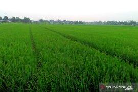 350 hektare sawah di lima kecamatan Purwakarta terancam kekeringan