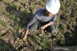 Dinas Pertanian Garut ajak petani ikut asuransi tanaman