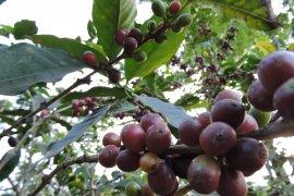 Pemkab Situbondo kembangkan perkebunan kopi lereng Gunung Argopuro