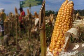 Desa Mata Ie raih omset ratusan juta rupiah dengan bertani jagung