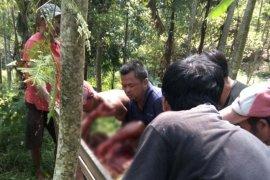 Tiga warga terluka diseruduk babi hutan