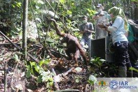 BKSDA Kalbar dan IAR Indonesia lepasliarkan lima orangutan