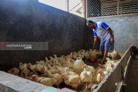 Pasokan Ayam di Paser Bergantung Suplai Dari Kalsel
