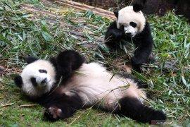 100 panda di Chengdu menjadi duta di beberapa negara