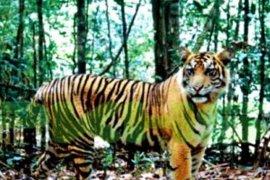 Harimau keluar area Chevron di Riau dengan lompati pagar dua meter