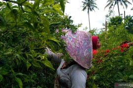Petani girang harga jual cabai rawit naik