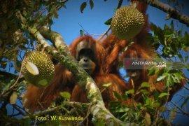 PLTA Batang Toru kecam penembakan Orangutan  di Aceh