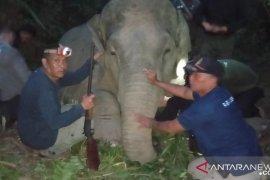 Polda Jambi bersama BKSDA pasang GPS colar gajah Sumatera