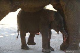 Bayi Gajah Sumatera
