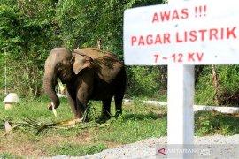 Gajah jinak Aceh Barat hamil
