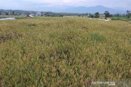 Puluhan ha sawah di Solok Selatan gagal panen diserang hama