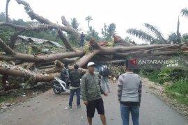 Akibat pohon besar tumbang, ratusan kendaraan terjebak macet